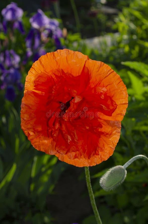 Papoila decorativa oriental constante - uma planta popular que seja crescida nos parques fotografia de stock