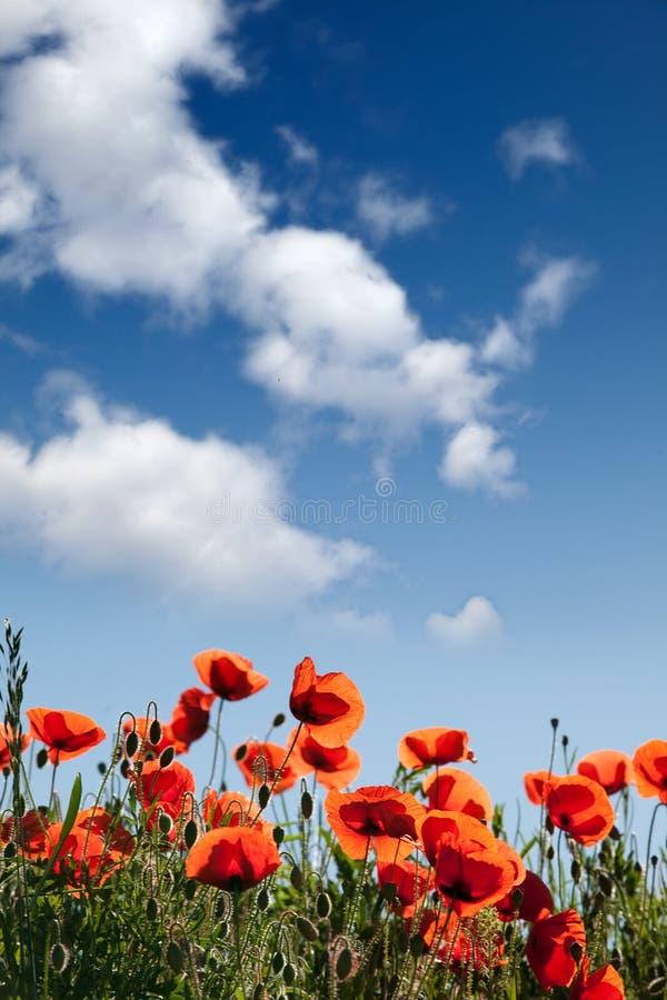A papoila do milho floresce rhoeas do Papaver imagem de stock