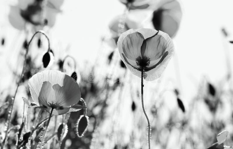 A papoila do milho floresce rhoeas do Papaver foto de stock