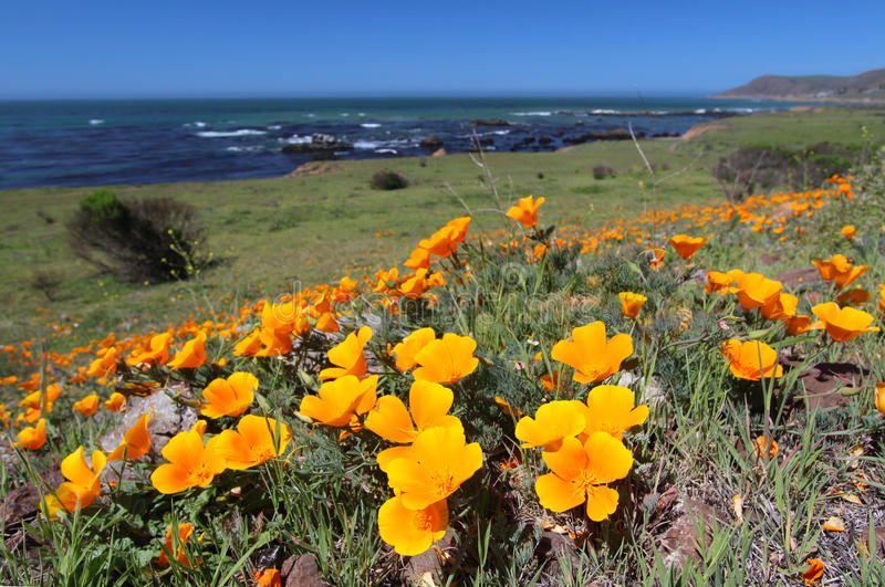 A papoila dourada floresce ao longo do Oceano Pacífico, Big Sur, Califórnia, EUA imagens de stock royalty free