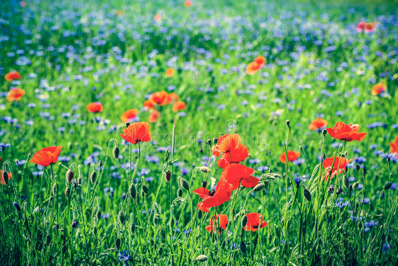 Papoila e campo de flores azul do centaury no verão fotografia de stock royalty free