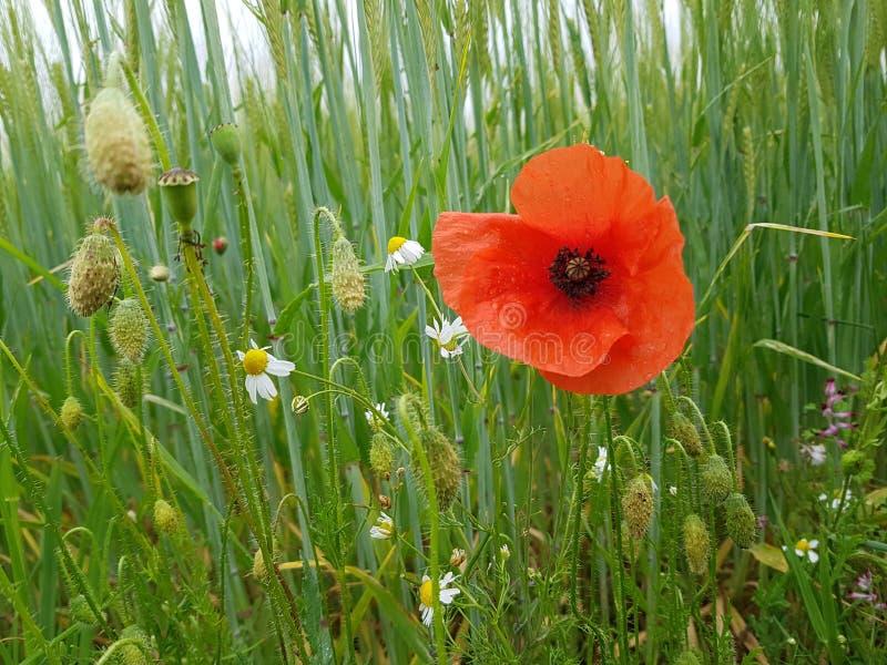 Papoila em um campo de trigo com flores selvagens fotos de stock royalty free