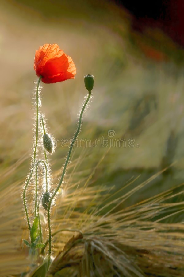 Papoila em um campo de trigo no nascer do sol fotografia de stock royalty free