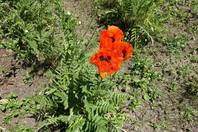 Papoila oriental com as 3 flores vermelhas grandes fotos de stock royalty free