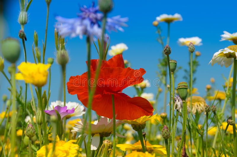 Papoila ou flor vermelha do Papaver fotos de stock royalty free