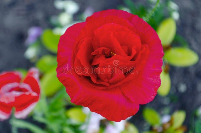 Papoila rosa fresca com botões, espinhos e folhas em um arbusto no jardim, clusa, espaço de cópia, foco suave, zombaria foto de stock