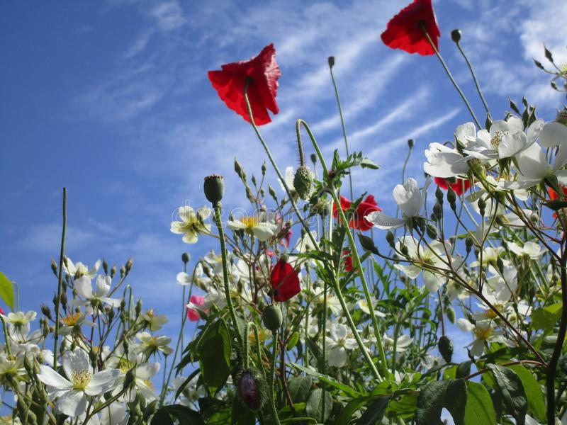 Papoila vermelha atrativa brilhante e flores brancas que florescem no início do verão imagem de stock
