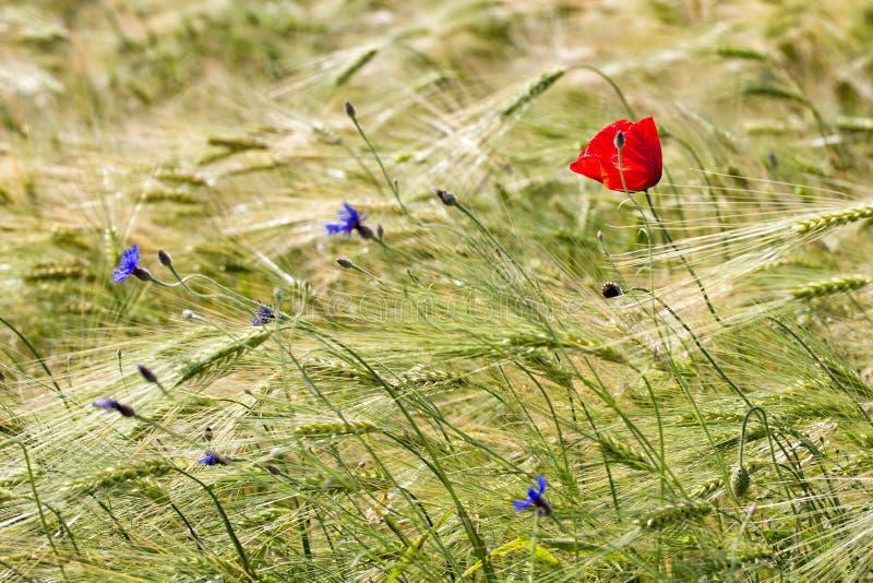 Papoila vermelha bonita e flores azuis em um campo de trigo verde no verão imagem de stock royalty free