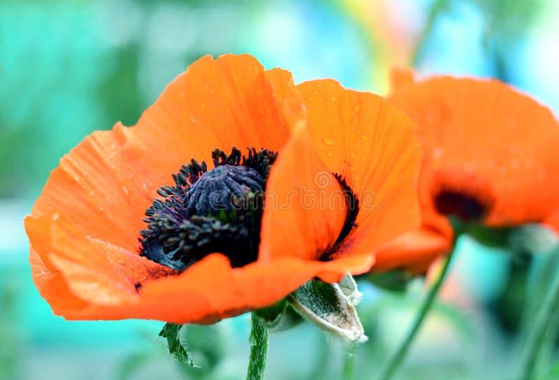 A papoila vermelha bonita, símbolo de comemora o pessoal militar que morreu na guerra Igualmente simbol do sono e da morte imagem de stock
