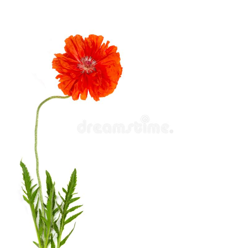 Papoila vermelha da flor na opinião superior isolada do close-up branco do fundo foto de stock