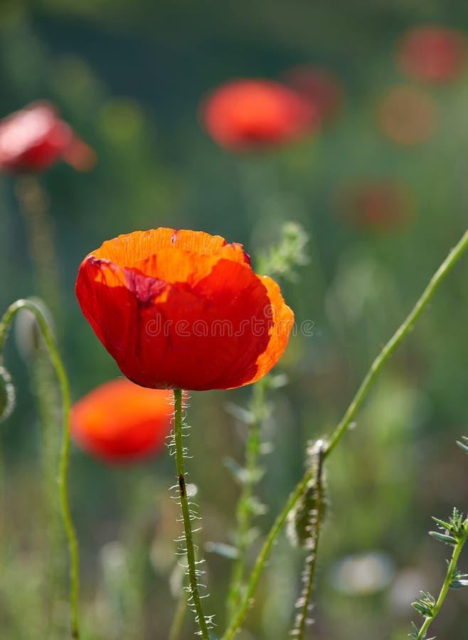 papoila vermelha de florescência em um campo em uma tarde da mola na luz do sol foto de stock royalty free