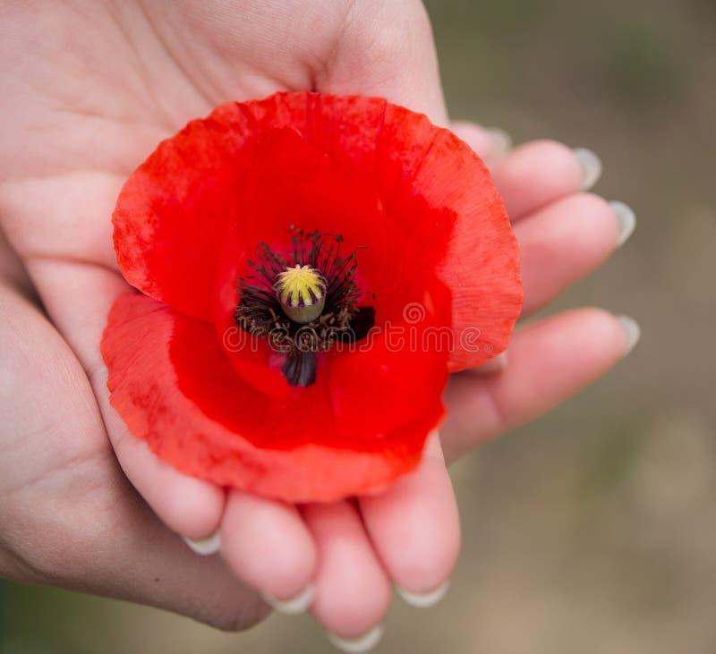 Papoila vermelha do dia da relembrança nas mãos imagens de stock royalty free