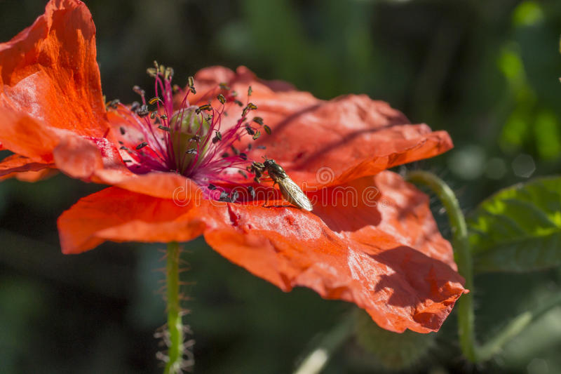 Papoila vermelha e pouca mosca foto de stock