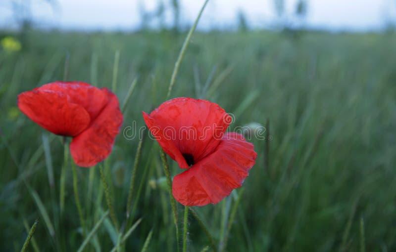 Papoila vermelha em um campo verde foto de stock royalty free
