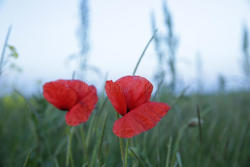 Papoila vermelha em um campo verde fotografia de stock royalty free