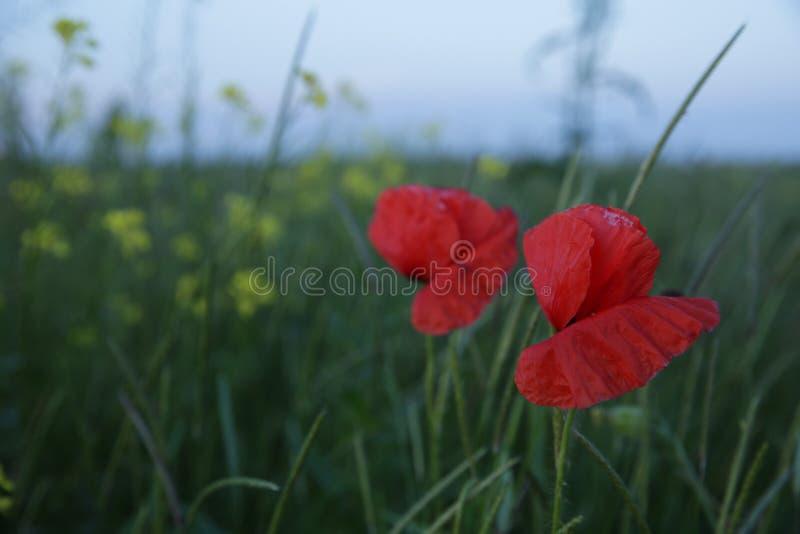 Papoila vermelha em um campo verde imagem de stock