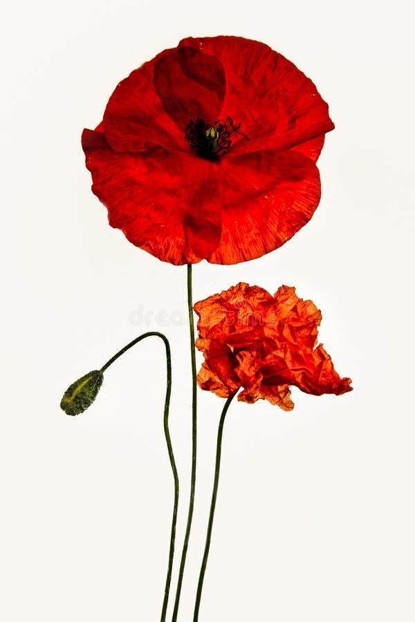 Papoila vermelha no fundo branco fotografia de stock