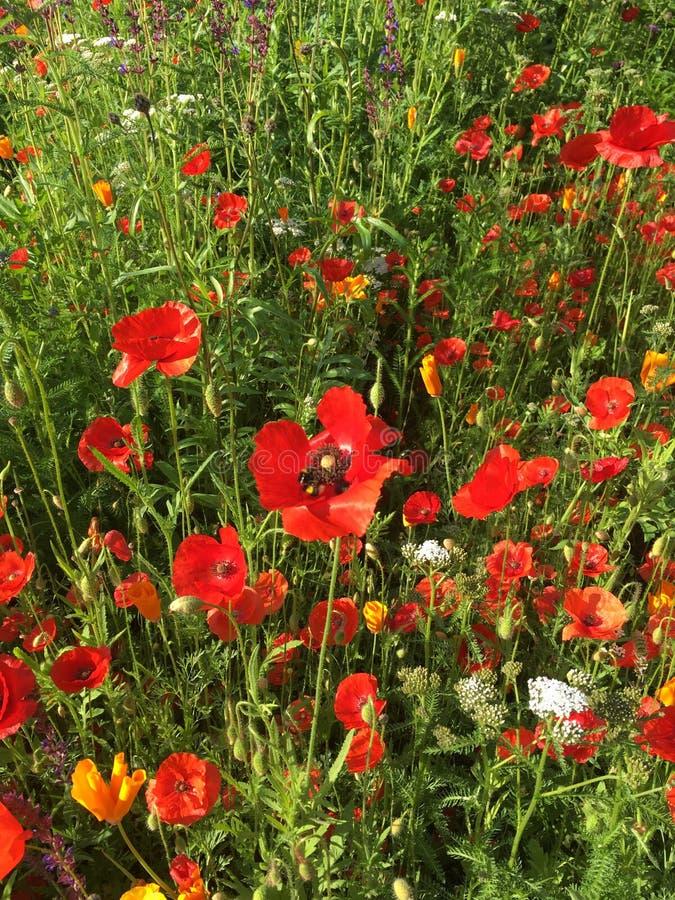 Papoilas altas nos wildflowers imagem de stock royalty free
