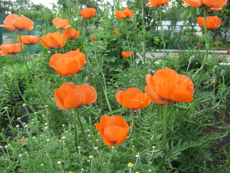 Papoilas de florescência com as pétalas alaranjadas e delicadas no jardim foto de stock royalty free