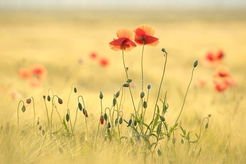 Papoilas de florescência retroiluminadas pelo sol da manhã fotografia de stock royalty free