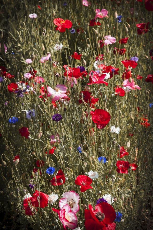 Papoilas em um jardim fotografia de stock