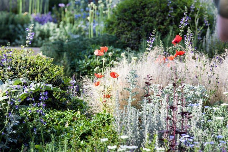 Papoilas em um jardim do verão foto de stock