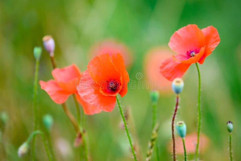 Papoilas que florescem no campo do verão, papoilas de florescência e cápsulas da semente de papoila fotografia de stock royalty free