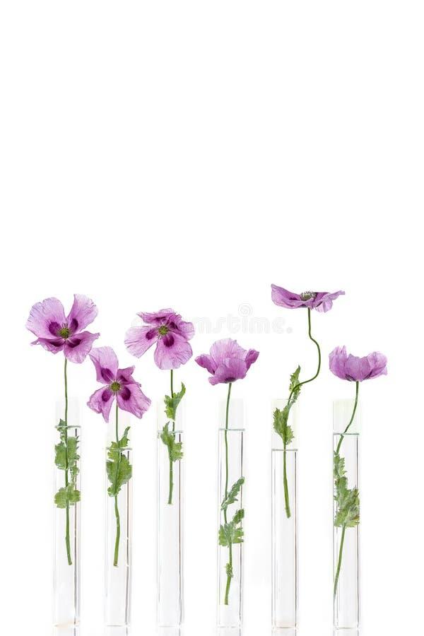 Papoilas roxas, no tubo de ensaio para a medicina erval e chimical e óleo essencial no fundo branco O conceito de imagens de stock royalty free
