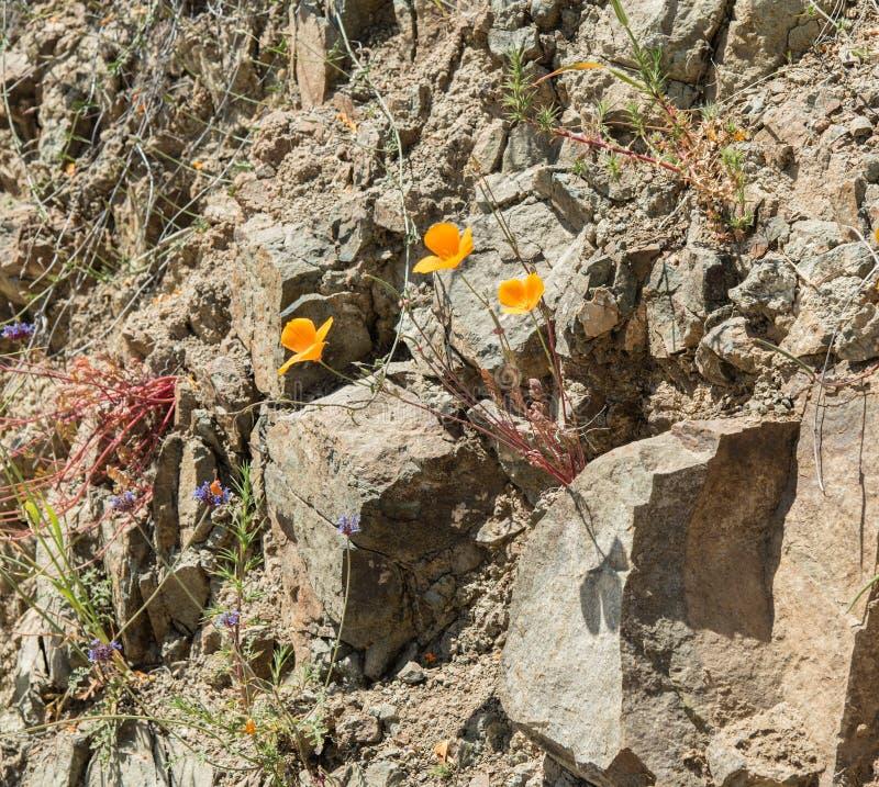 Papoilas selvagens bonitas - uma parte do Superbloom da mola de 2019 em Califórnia do sul imagem de stock