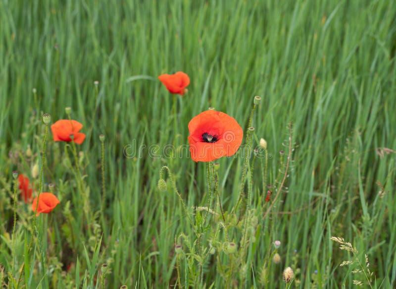 Papoilas vermelhas à luz da manhã Poliana com flores vermelhas de papoila num fundo verde Uma flor de papoila solitária Domínio d imagens de stock
