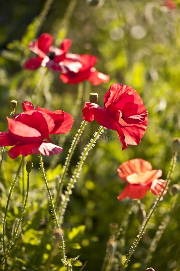 Papoilas vermelhas fotografia de stock royalty free