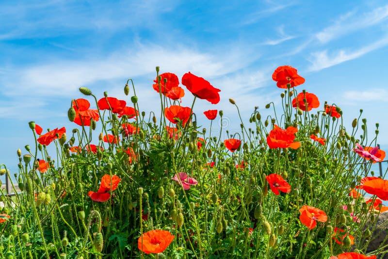 Papoilas vermelhas contra o céu azul imagens de stock royalty free
