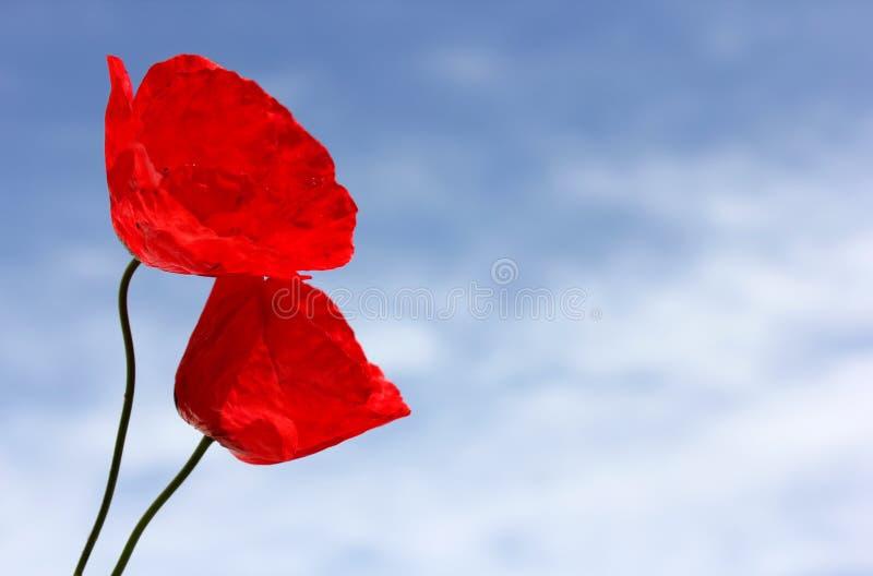Papoilas vermelhas contra o céu azul foto de stock royalty free