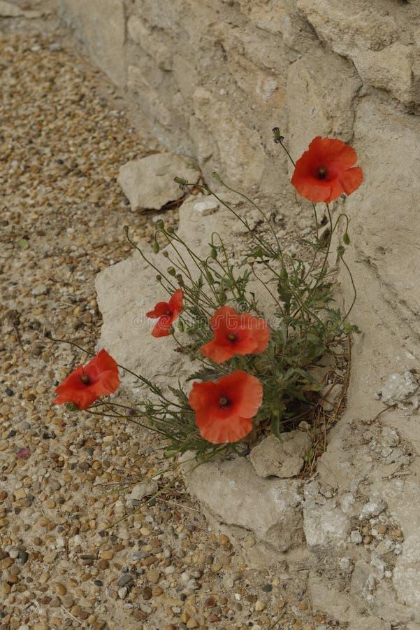 Papoilas vermelhas e parede de pedra imagens de stock royalty free
