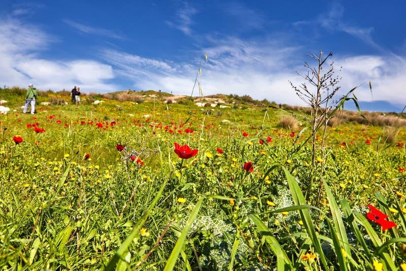 Papoilas vermelhas em um campo verde imagem de stock