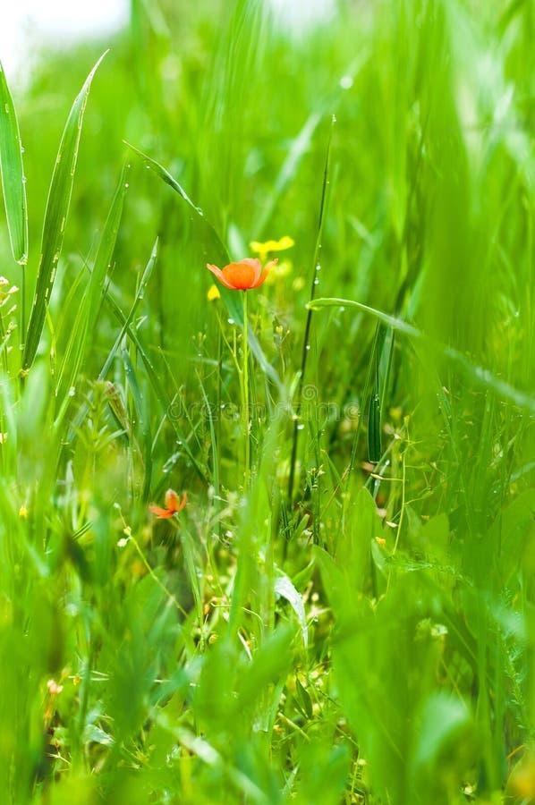 Papoilas vermelhas em um fundo da grama e da folha verde-clara fotografia de stock royalty free