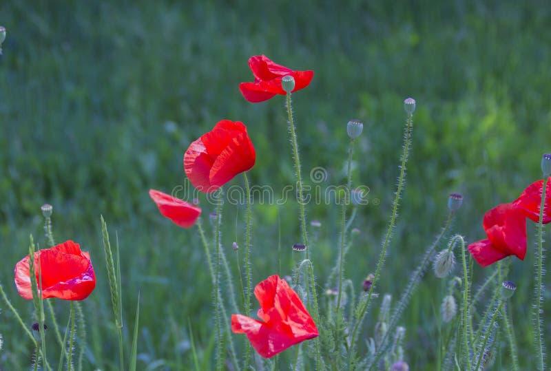 Papoilas vermelhas em um fundo da grama verde imagens de stock royalty free
