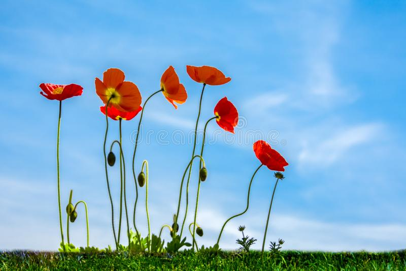 Papoilas vermelhas em um prado verde contra um céu azul fotografia de stock royalty free