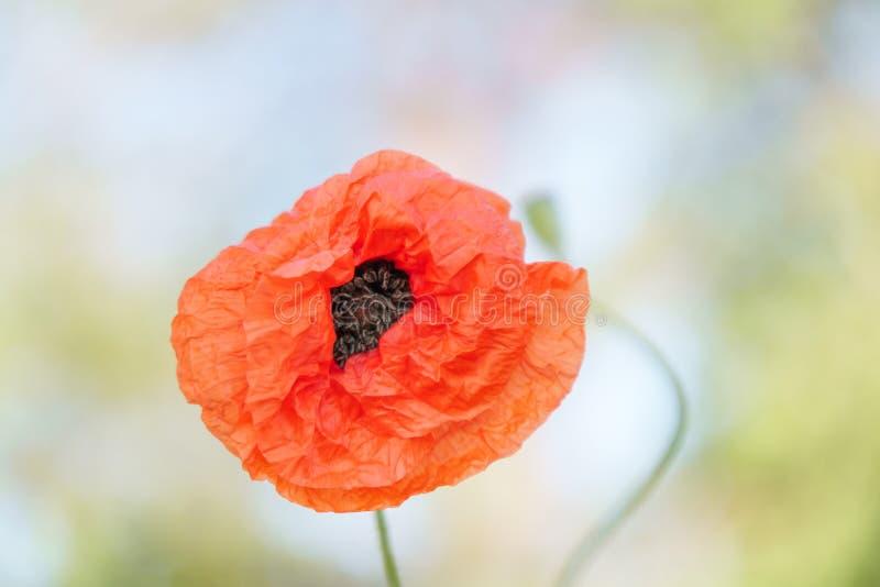 Papoilas vermelhas na luz da manhã Polyana com papoila vermelha floresce em um fundo verde do borrão Uma flor só da papoila Campo fotografia de stock