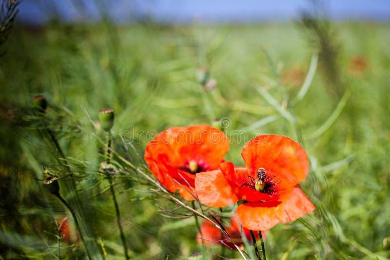papoilas vermelhas no campo verde fotografia de stock royalty free