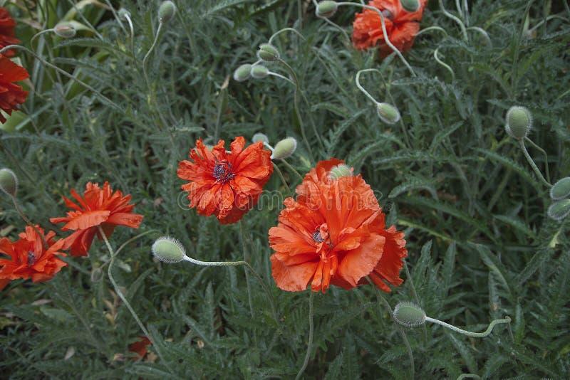 Papoilas vermelhas no fundo da grama Flores vermelhas em um fundo verde Close-up imagem de stock royalty free