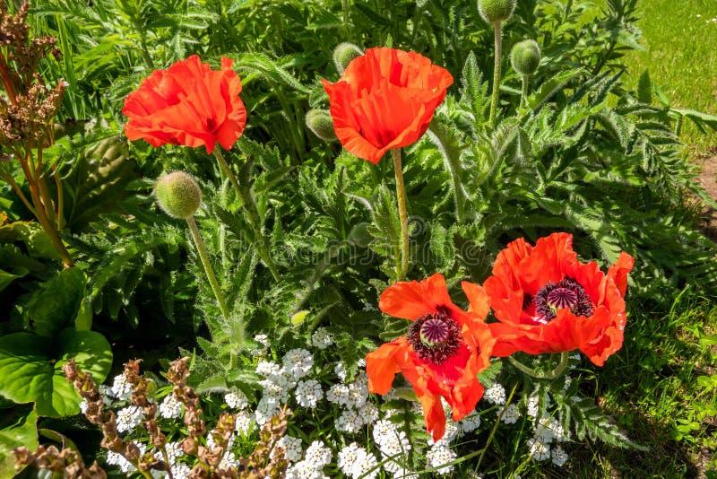 Papoilas vermelhas no jardim fotos de stock