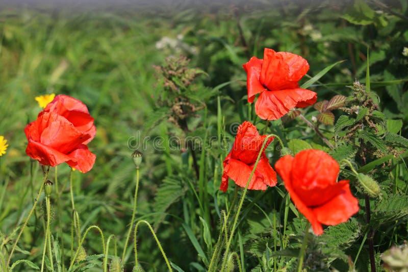 Papoilas vermelhas selvagens que crescem em um campo fotografia de stock royalty free