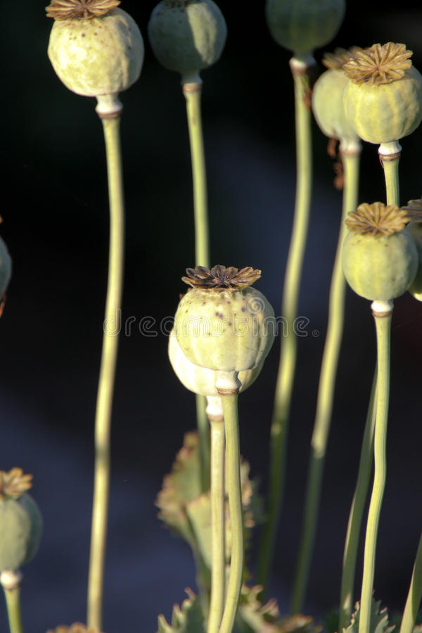 Download Papoilla Plant stock image. Image of papoilla, medicine - 9788579