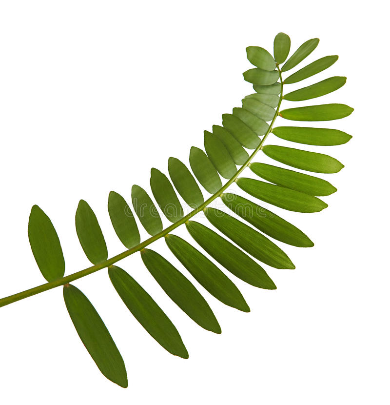 Papp gömma i handflatan eller Zamiafurfuraceaen eller mexikancycadbladet som isoleras på vit bakgrund royaltyfri bild