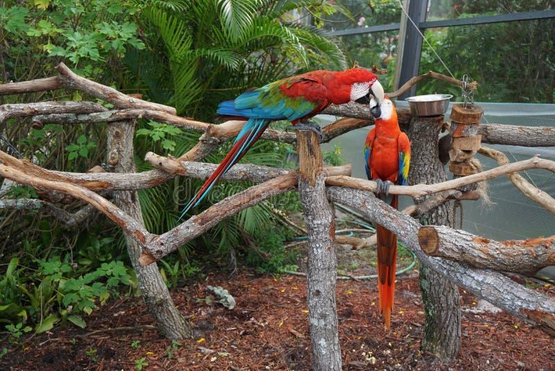 Pappagalli di combattimento al mondo della farfalla, Florida immagine stock