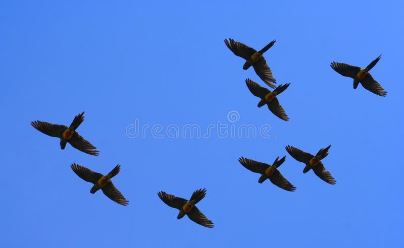 Pappagalli di volo fotografie stock
