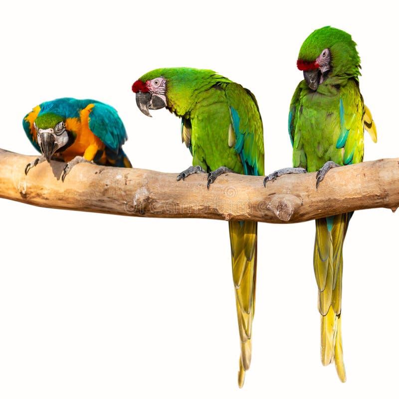 Pappagalli isolati - ararauna dell'ara sull'albero fotografia stock libera da diritti