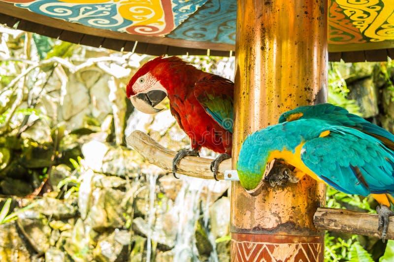 Pappagalli rossi e blu che si appollaiano sul brach che il pappagallo blu che becca sul ramo fotografie stock libere da diritti