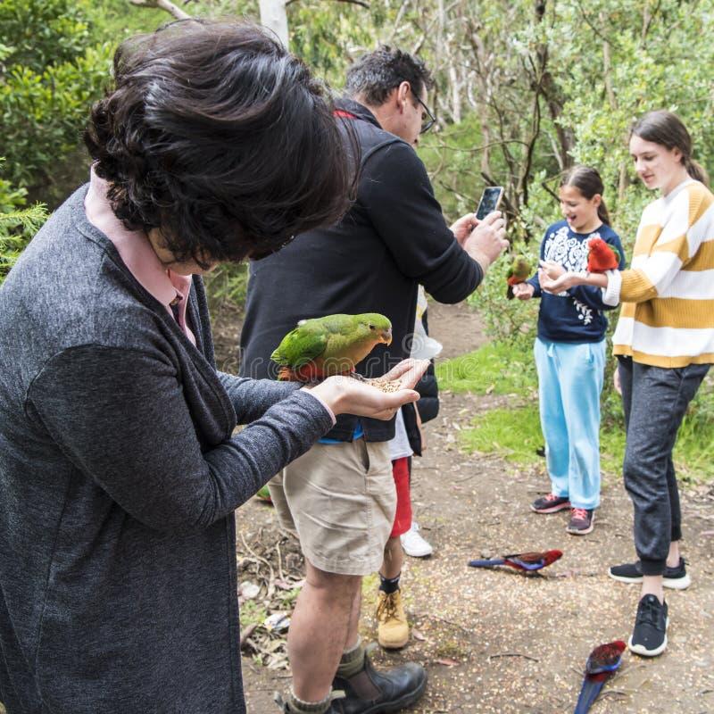 Pappagalli selvaggi d'alimentazione, Australia immagini stock libere da diritti
